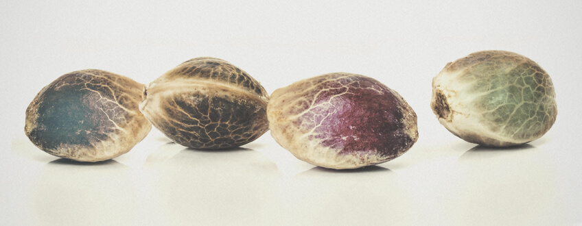 What Are The Different Types Of Cannabis Seed?